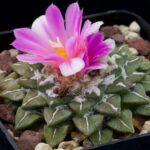 Род кактусов - Ариокарпус. Описание видов с фото и видео