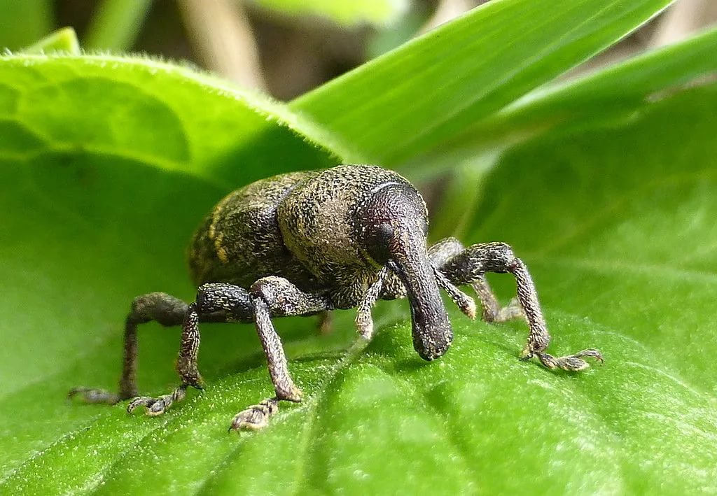 Что такое агавовый жук-долгоносик?