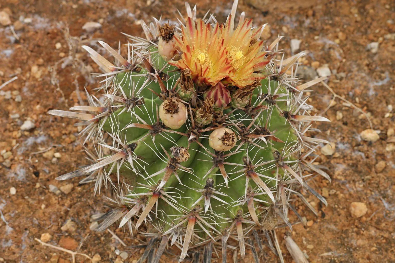 Ферокактус ощетиненный (Ferocactus horridus)