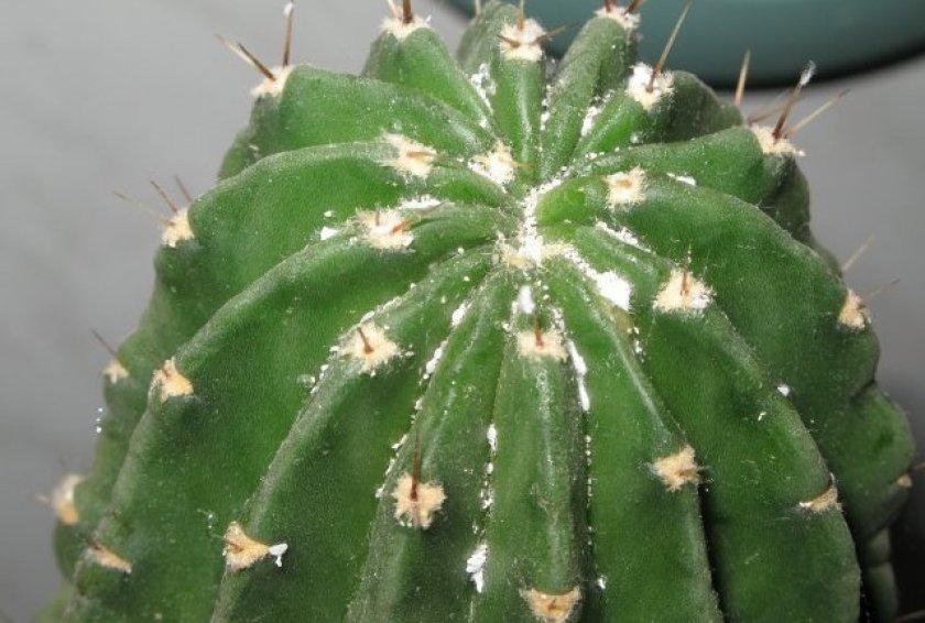 Грибковые заболевания кактусов и их лечение