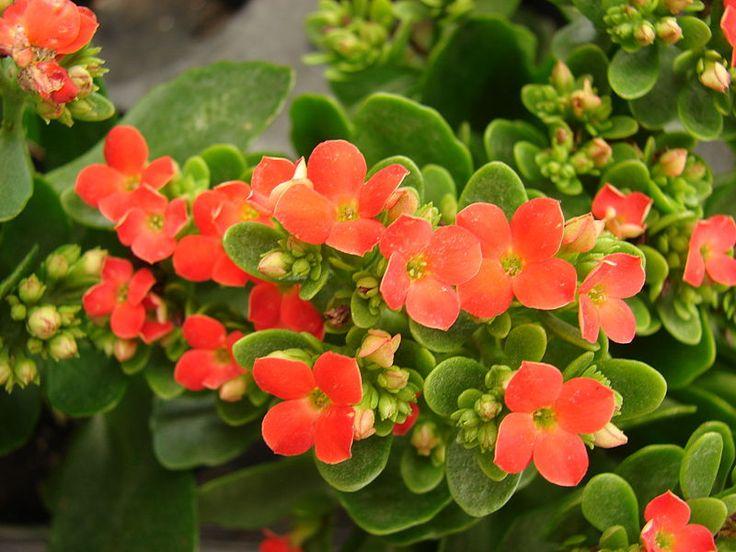Каланхоэ Блоссфельда (лат. Kalanchoe blossfeldiana)