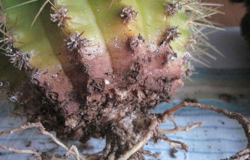 Корневой червец кактус