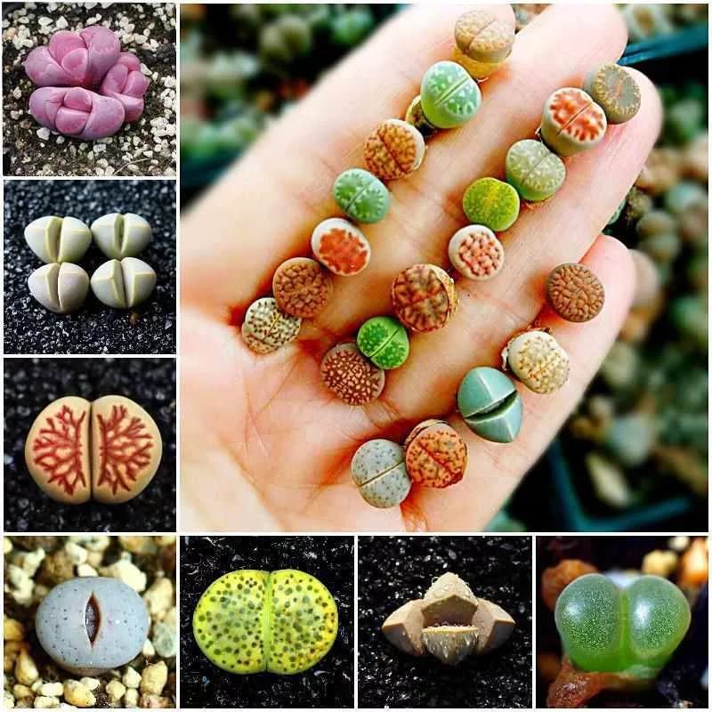 ЛИТОПСЫ из семян (ЖИВЫЕ КАМНИ)