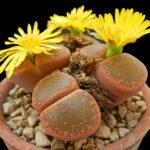 Происхождение растений рода Литопс (Lithops)