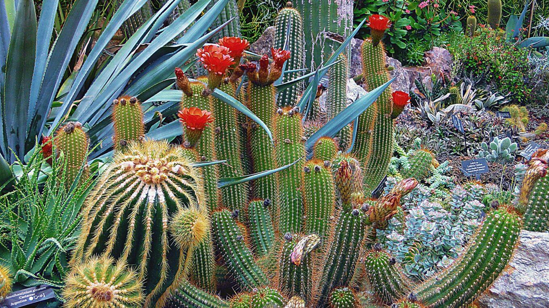Растение кактус летом на свежем воздухе