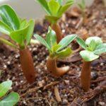 Размножение адениума семенами. Инструкция с видео