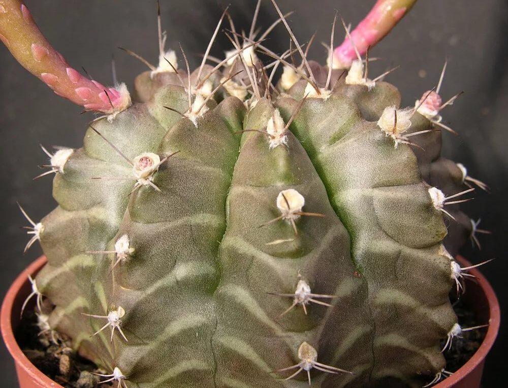 Заболевания кактусов летом