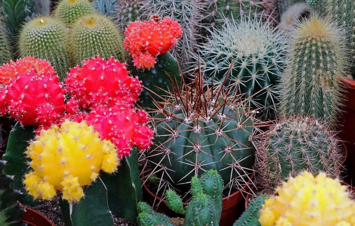 Фототоксичность кактусов
