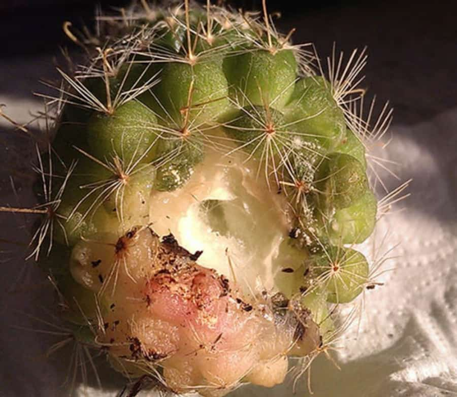 Гниение кактуса