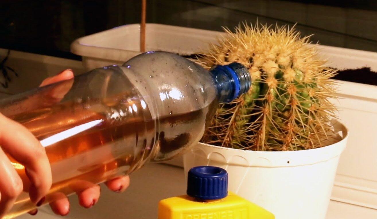 Как поливать комнатные кактусы