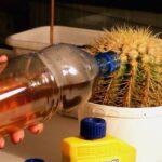 Как поливать комнатные кактусы? Советы и видео