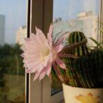 Как заставить кактусы цвести