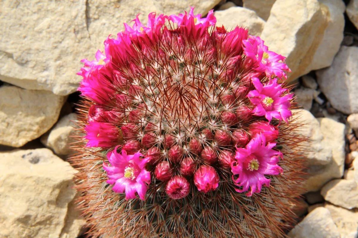 Маммилярия колючая (Mammilaria spinosissima)