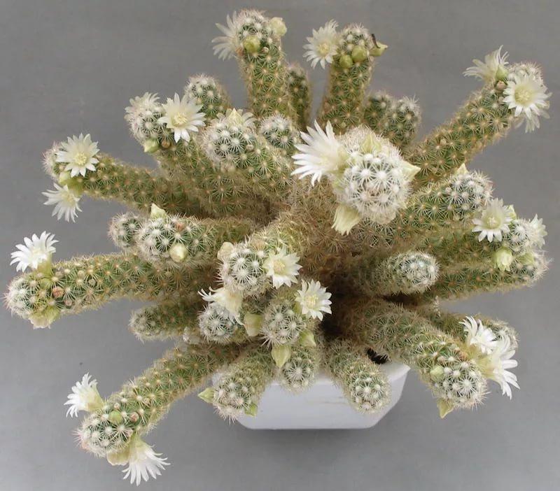 Маммилярия удлиненная (Mammilaria elongata)