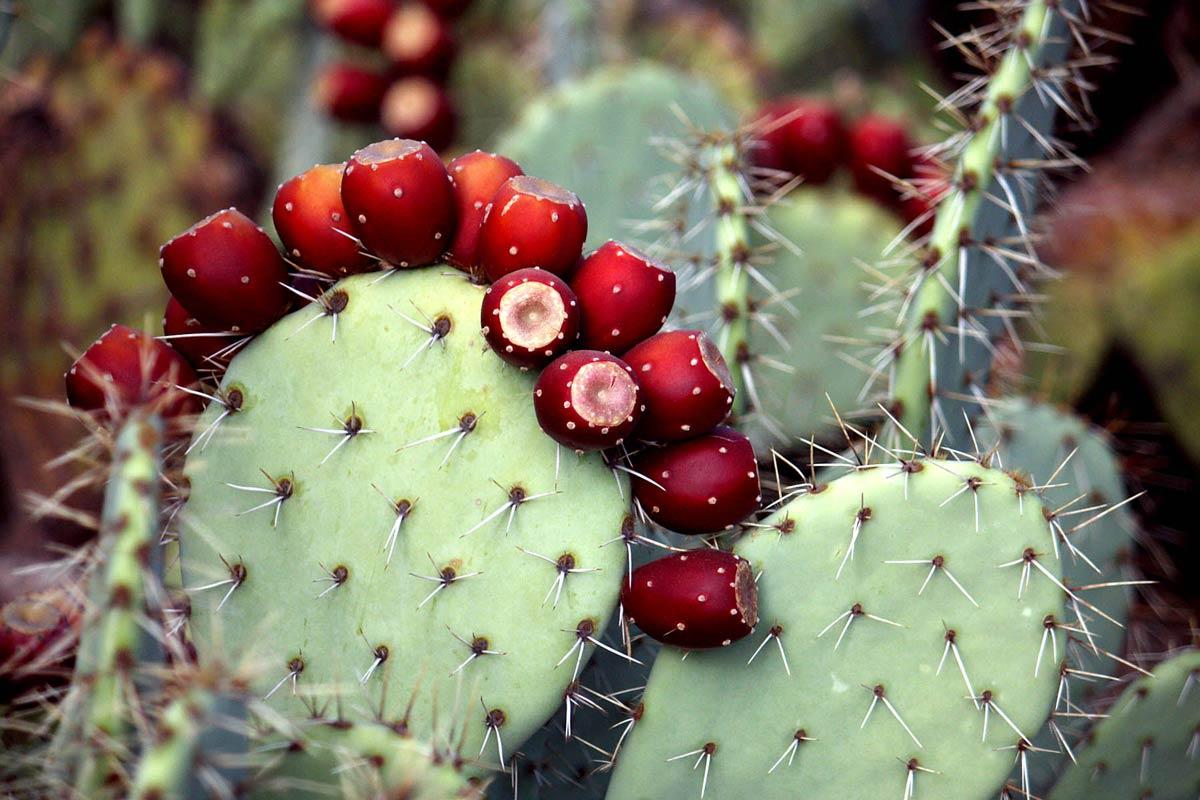 Семена и плоды кактусов