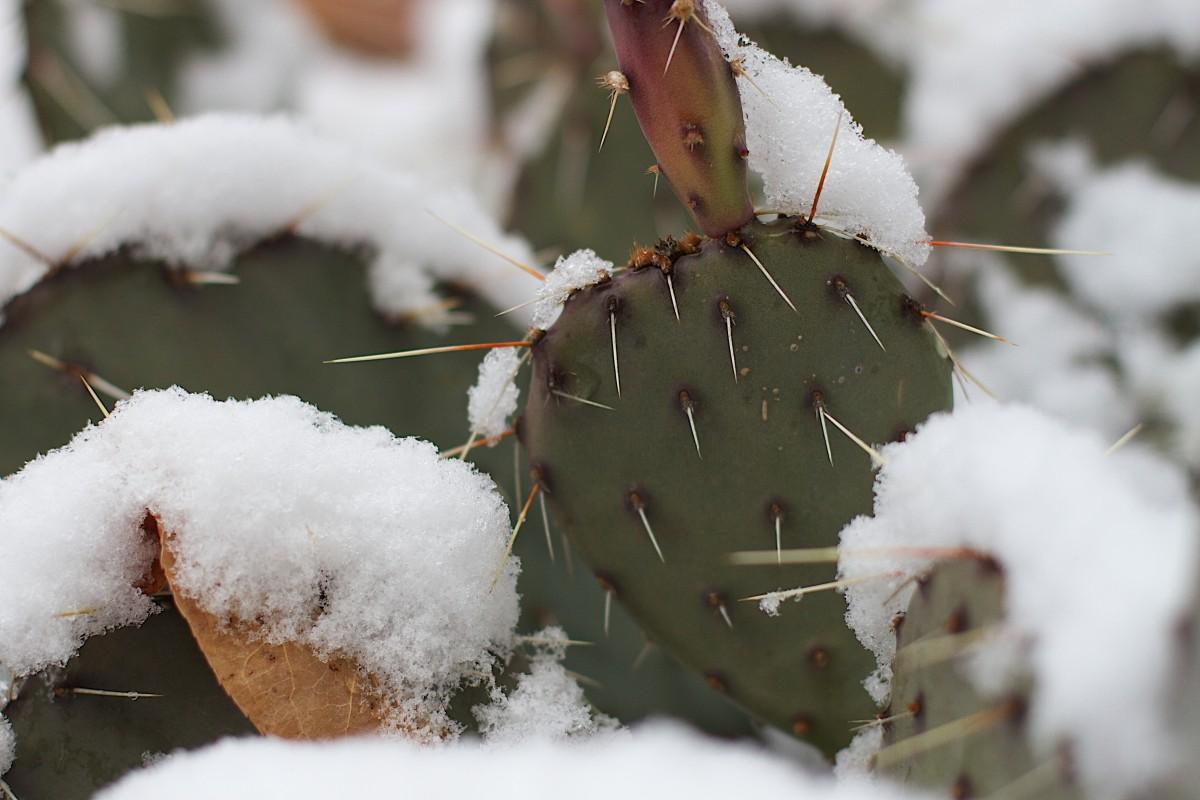 Повреждения кактуса от мороза