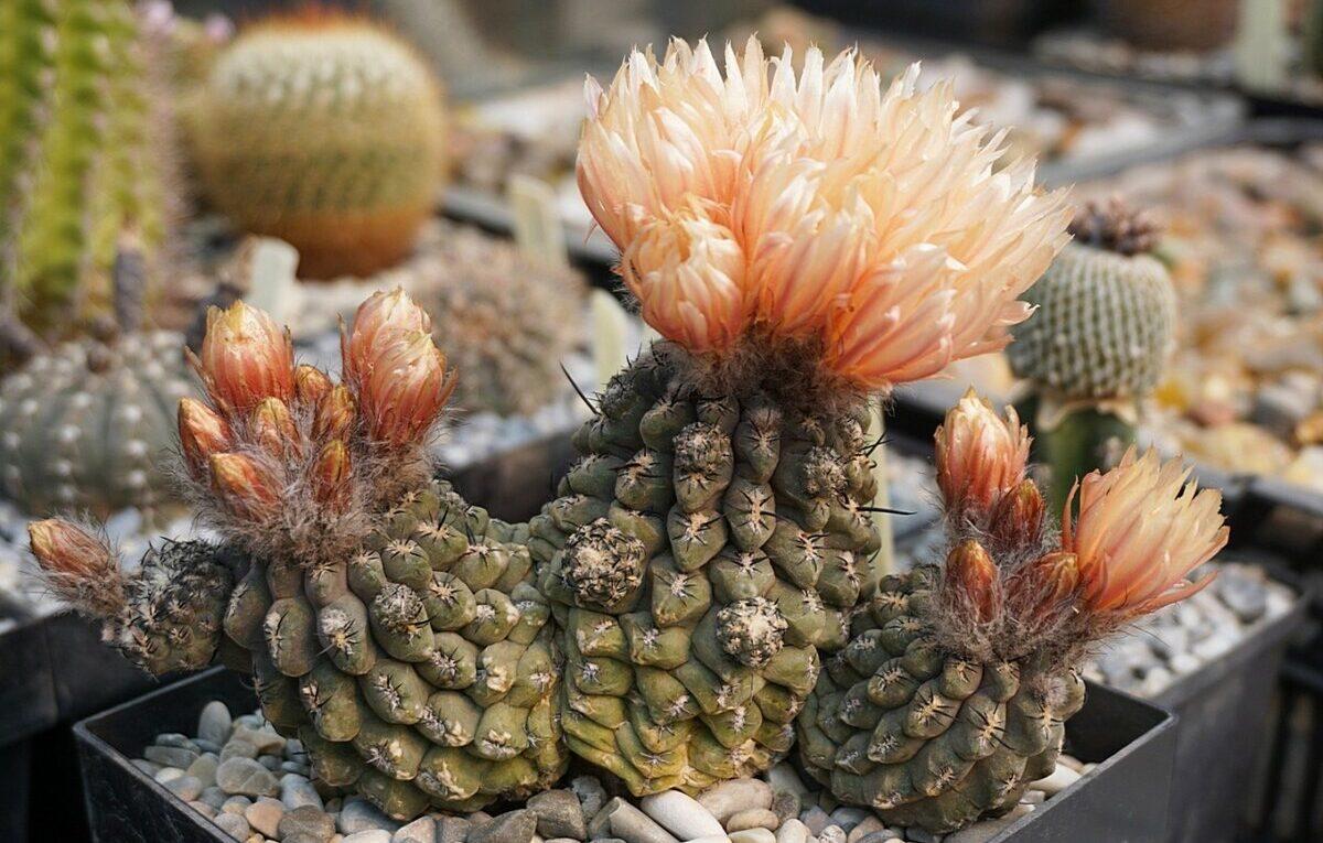 Род кактусов Эриозице (Eriosyce)