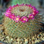 Род кактусов Маммилярия. Описание видов с фото