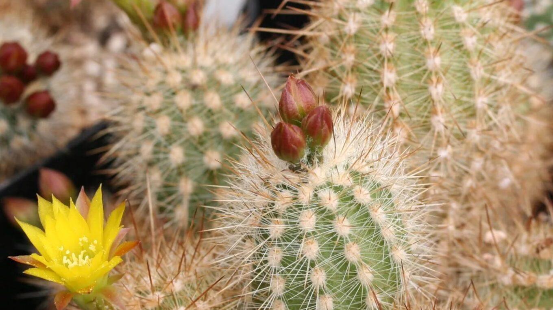 Род кактусов Мила