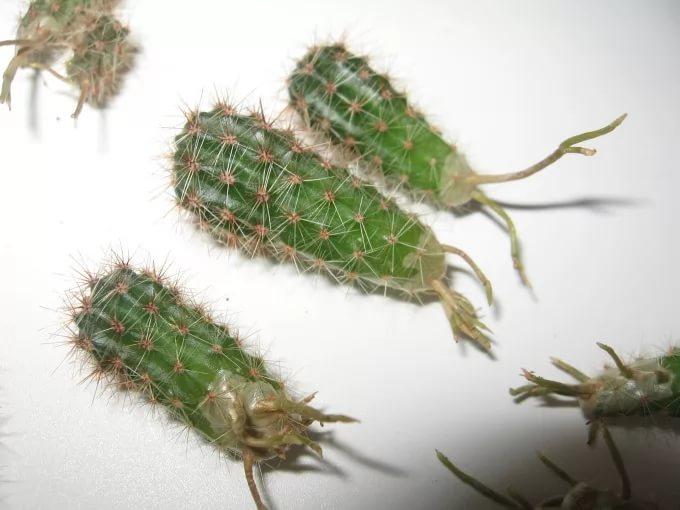 Укоренение черенков кактуса