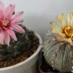 Бутонизация и цветение кактусов