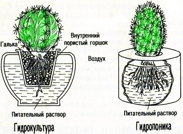 Кактусы на питательных растворах