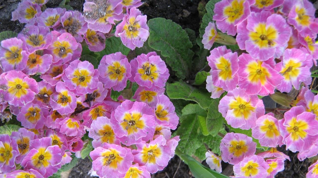 Махровые примулы цветут до зимы