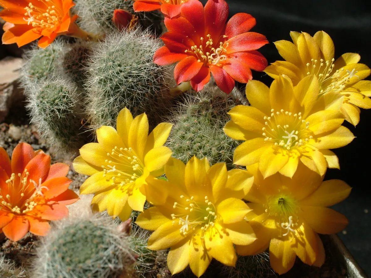 Окраска цветков кактусов