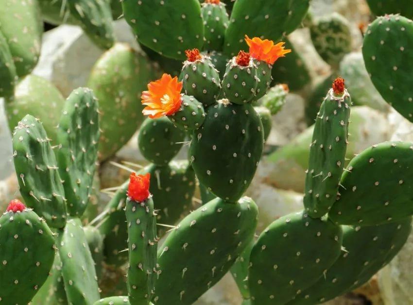 Период бутонизации кактусов
