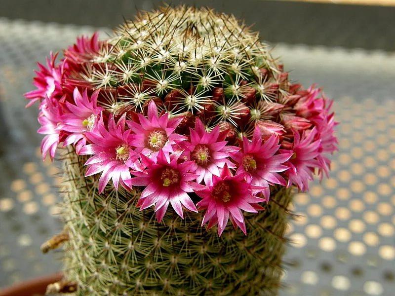 Размер цветка у кактуса