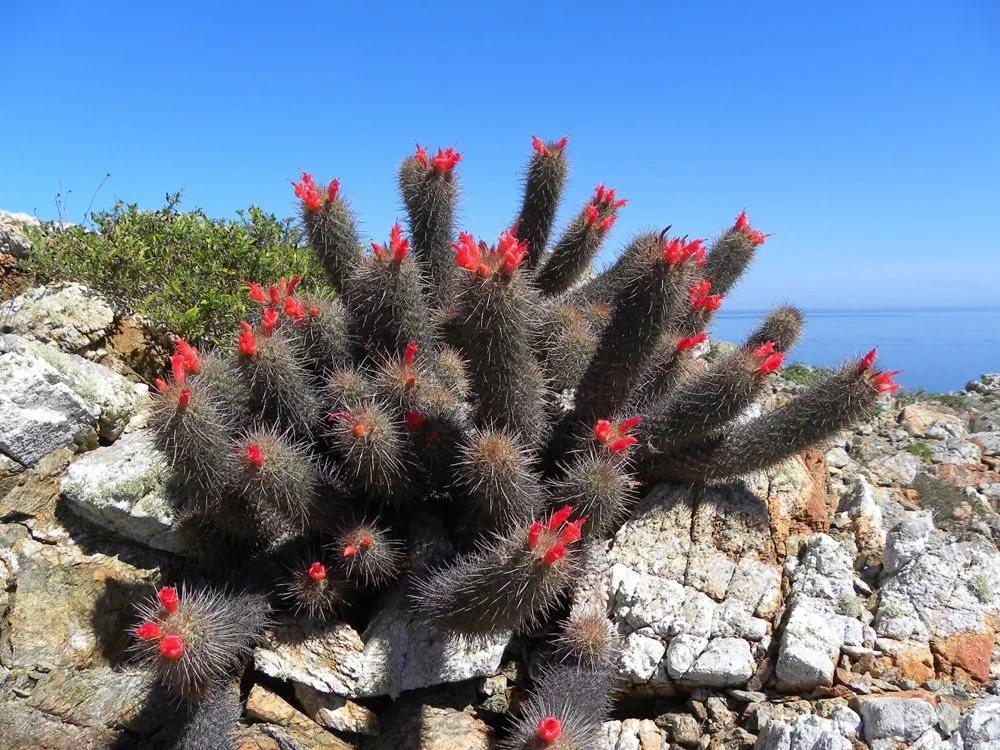 Наиболее отличительной чертой рода Кохемия (Cochemieа) являются красные (иногда оранжевый) цветы