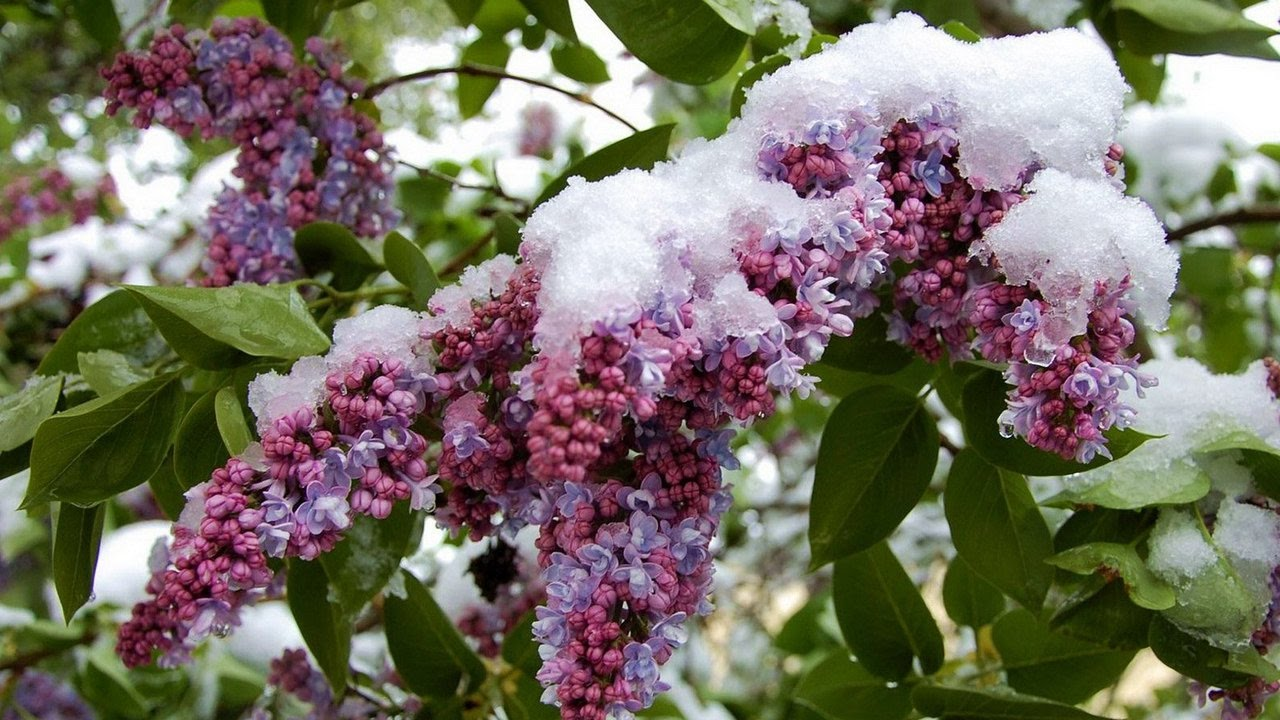 Сирень цветет зимой