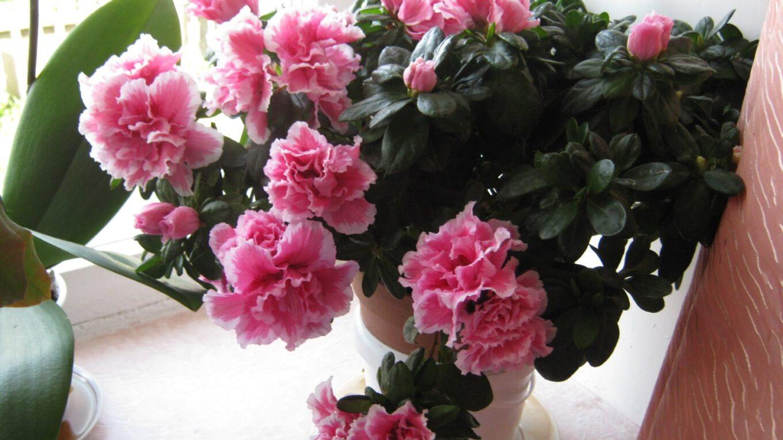 Советы цветоводов любителям азалий