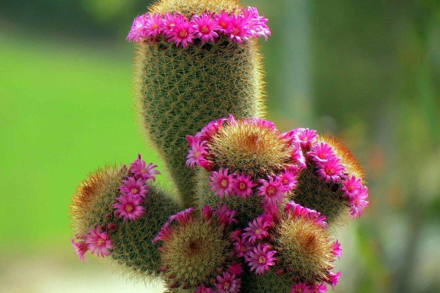 Венец цветения растения - бутоны