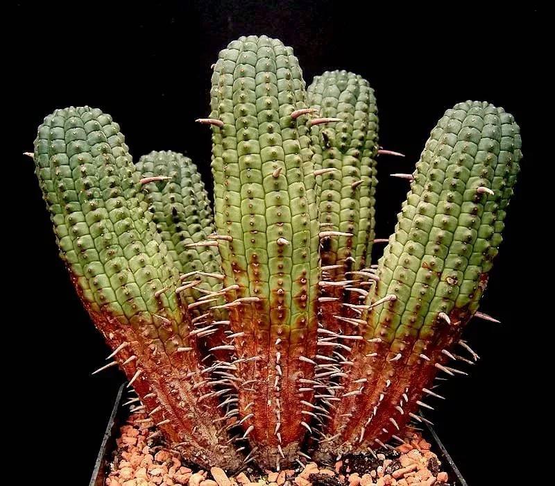 Внешнее повреждение кактуса