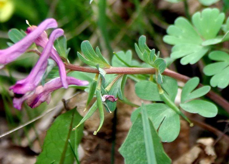 Хохлатка Пачоского (Corydalis paczoskii)