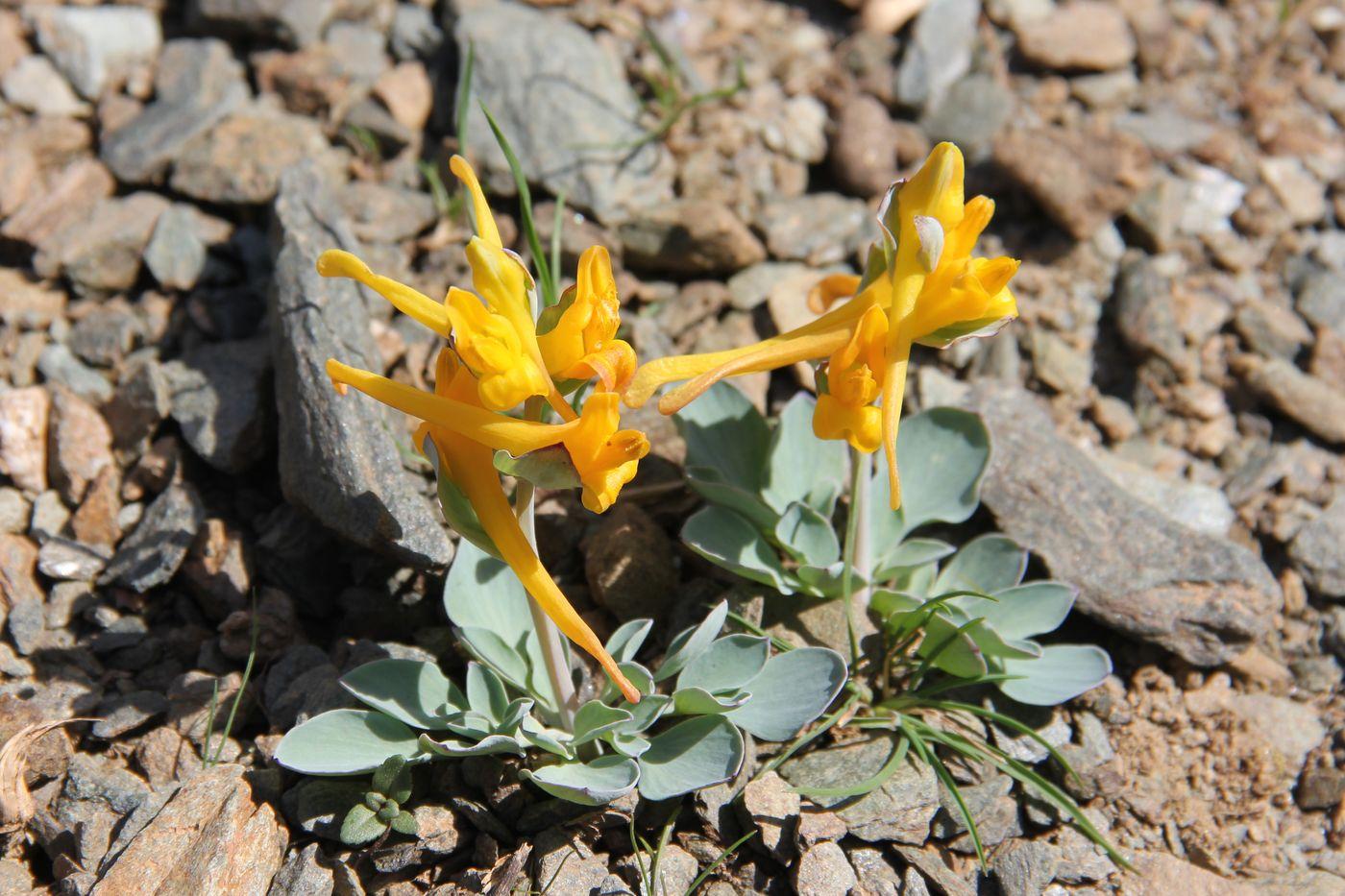 Хохлатка Северцова (Corydalis sewerzowii)