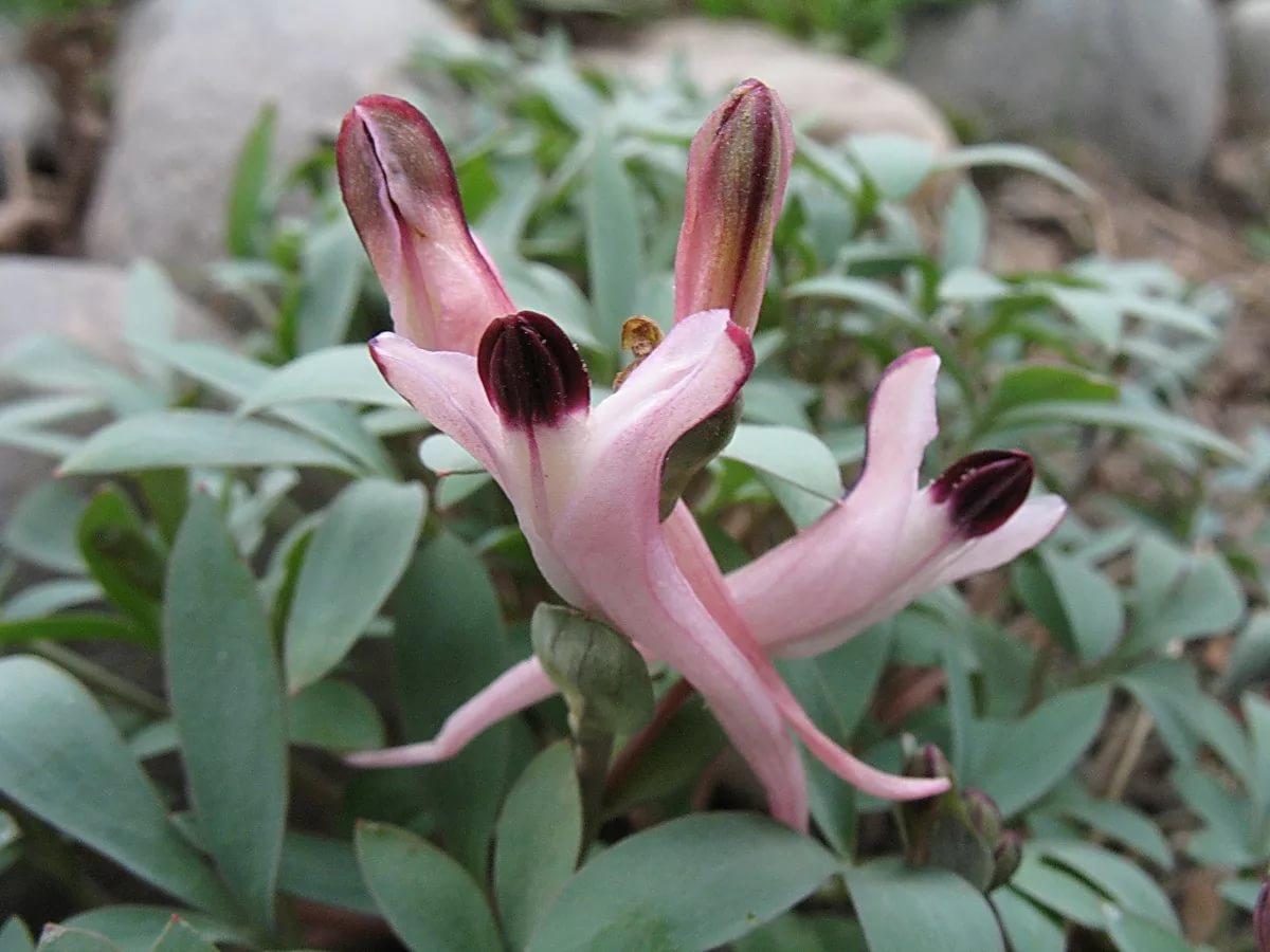 Хохлатка шангини (Corydalis schanginii)