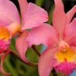 Каттлея. Условия для цветения