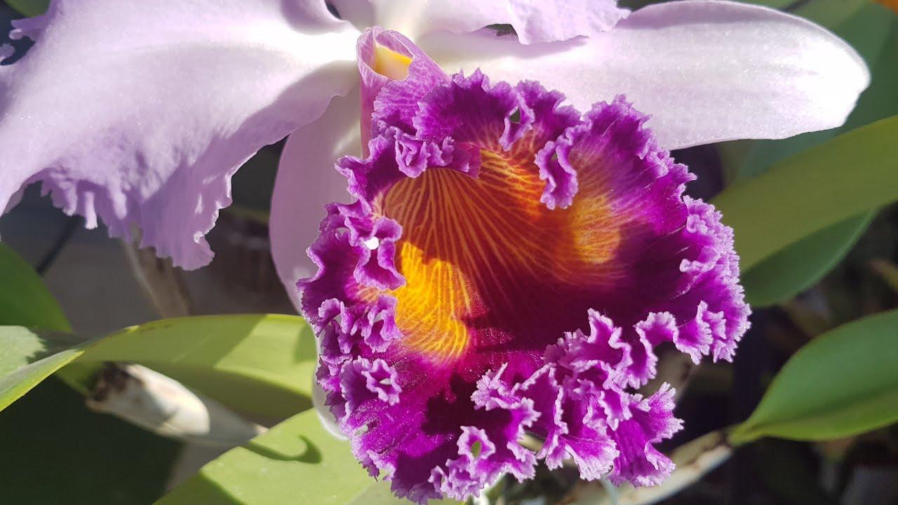 Каттлея цветет