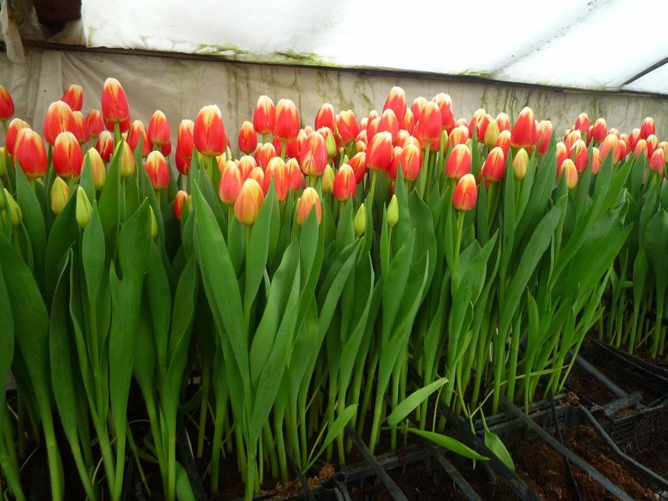 Сложности выгонки тюльпанов