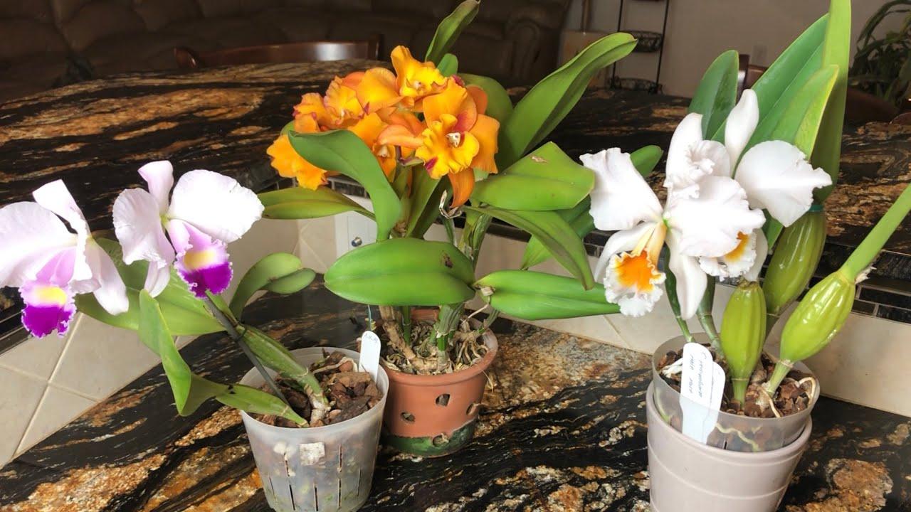 Уход за каттлеей в период цветения