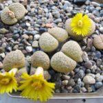 Живые камни (Литопсы) украсят подоконники. Видео
