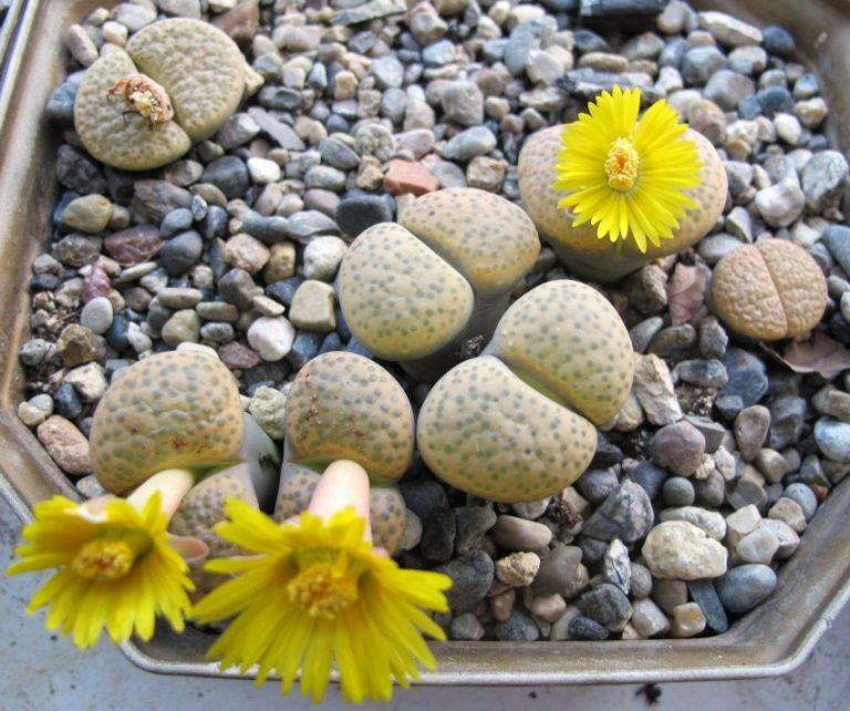 Живые камни (Литопсы) украсят подоконники