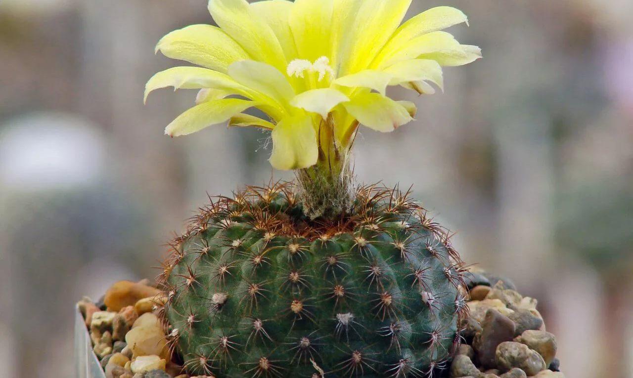 Род кактусов Фрайлеа