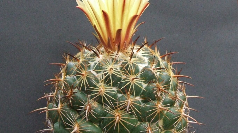 Род кактусов Корифанта