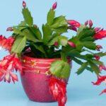 Зигокактус усеченный (Рождественский кактус). Правильный уход