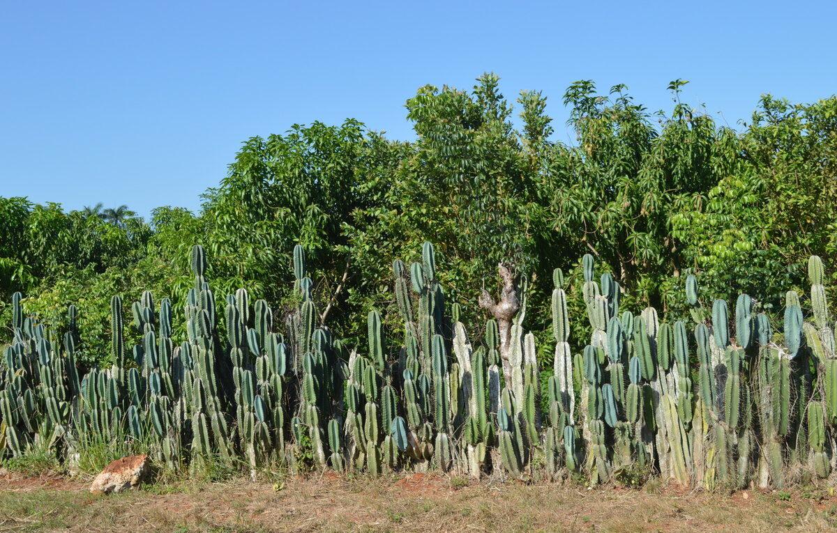 Кактусы Кубы