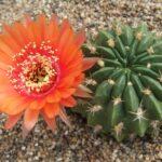 Род кактусов Лобивия. Описание видов с фото и видео