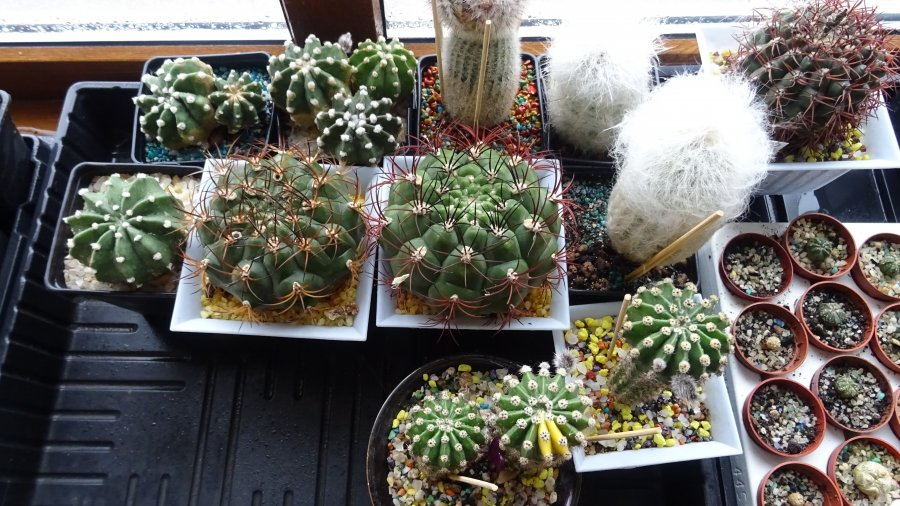 Советы по содержанию коллекции кактусов